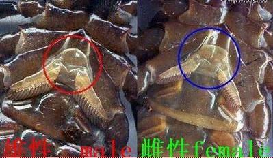 怎样分辨蝎子的雌雄?