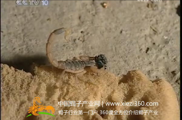 蝎子王蝎子养殖技术视频