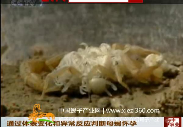 母蝎怀孕的鉴定辨别方法视频