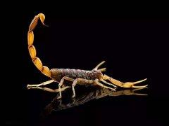 吃蝎子能治什么