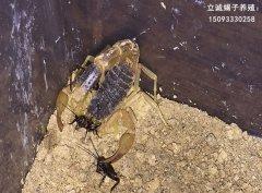 中国最大的蝎子养殖基地是哪家?