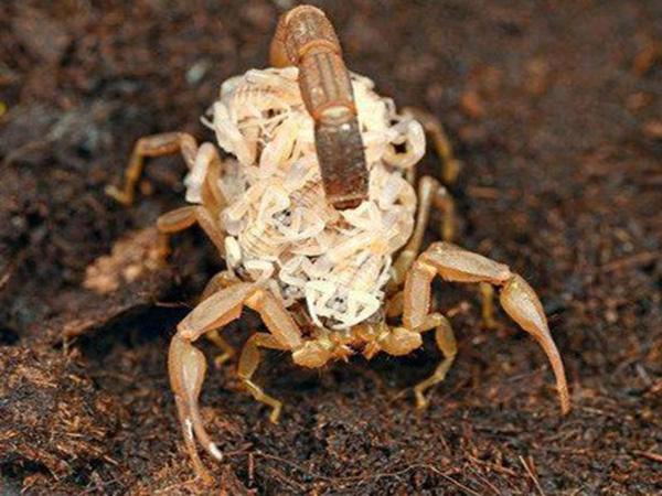 临产蝎是如何生产的?蝎子怀孕后多久产蝎仔?