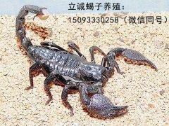 野生蝎子和家养蝎子的区别,怎么辨别野生蝎子?