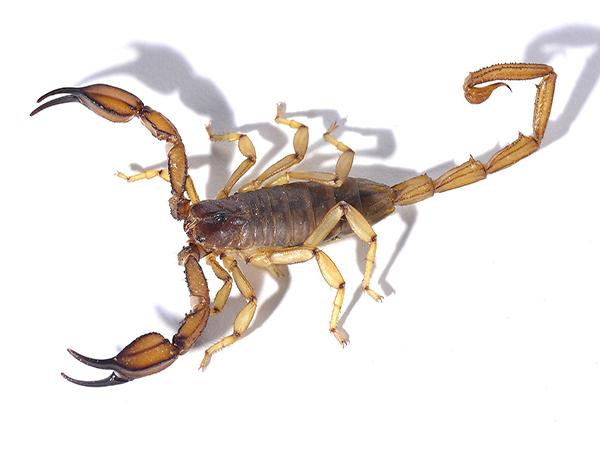 洛阳蝎子批发回收价格,最新洛阳蝎子回收价格,洛阳哪里回收蝎子?
