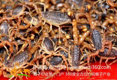 蝎子养殖成本需要多少钱?蝎子养殖成本预算