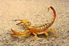 养殖蝎子大概投资多少,蝎子养殖准备什