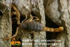 蝎子养殖技术视频讲解