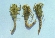 蝎子胃肠炎如何防治