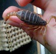 蝎毒的成分以及怎样解蝎