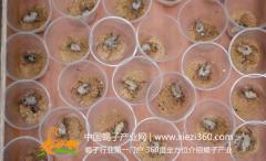 蝎子养殖技术:蝎子的分