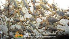 蝎子养殖之蝎子对水的消