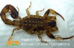 蝎子养殖网,蝎子养殖过程中霉斑病的防