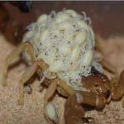蝎子养殖,蝎子足部病变的病因,症状和治疗?