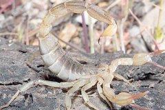 蝎子怎么繁殖