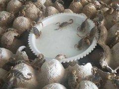 蝎子养殖的饲料有哪些?需要多久喂养一