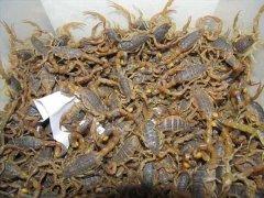 蝎子养殖场哪家好?中国最大的蝎子养殖