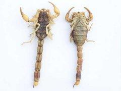 全蝎的药用价值如何,可以治疗那些疾病,蝎子如何加工有营养?