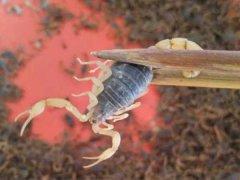 蝎子常见疾病是怎么引起的,影响蝎子生长的三个因素