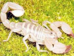 蝎子养殖风险利润并存,蝎子养殖赚钱要注意什么?