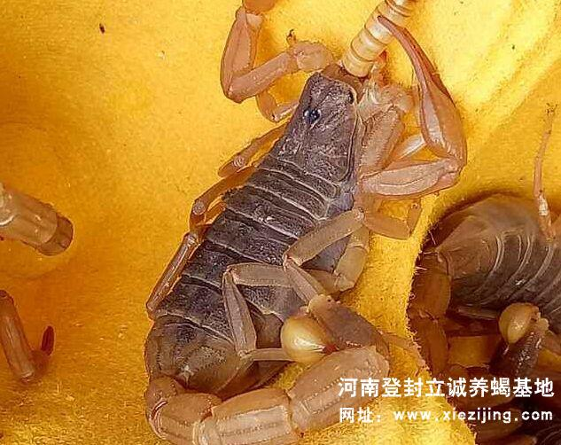 秋季来了蝎子怎么养殖?蝎子养殖秋天管理技术
