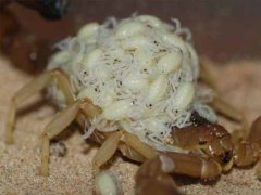 蝎子繁殖过程,蝎子怎样繁殖?蝎子一胎可繁殖多少只?